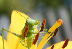 Green grasshopper collects pollen from a flower Stock Image