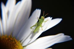 Green grasshopper on daisy flower Stock Images