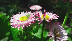 Green grasshopper on a daisy flower. Small green grasshopper on a pink daisy flower stock video footage