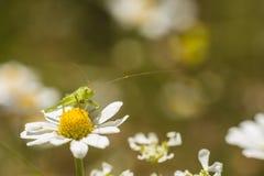 Green grasshopper on daisy flower Royalty Free Stock Photo