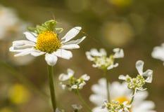 Green grasshopper on daisy flower Royalty Free Stock Image