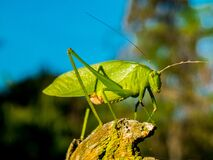 Green Grasshopper during Day Time Royalty Free Stock Photography
