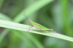 Green grasshopper. Disguising on a green leaf Royalty Free Stock Photography