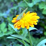 Green grasshopper drinking water on the yellow flower. Macro. Narrow depth of field Stock Photos