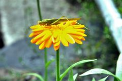 Green grasshopper drinking water on the yellow flower. Macro. Narrow depth of field Stock Image