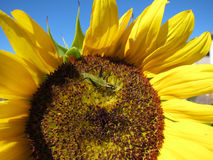 Green grasshopper eats and damages blooming sunflower Stock Photos