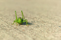 Green grasshopper facing camera Royalty Free Stock Photos