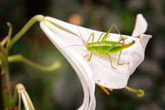 Green grasshopper on a flower Stock Photography