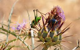 Green grasshopper and flowering thistle Royalty Free Stock Photography