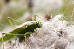 Green grasshopper - food intake Royalty Free Stock Image