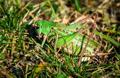 Green grasshopper in the grass Royalty Free Stock Images