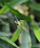 Green grasshopper on grass. In Garden Royalty Free Stock Image