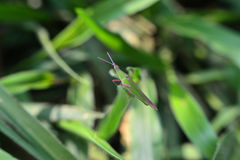 Green grasshopper on grass Royalty Free Stock Photo