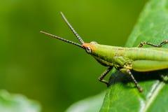 Green grasshopper on grass leaf Stock Photos