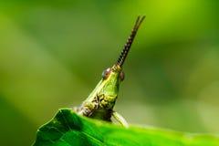Green grasshopper on grass leaf Stock Photo