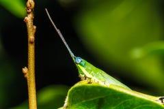 Green grasshopper on grass leaf Stock Images
