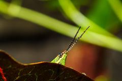 Green grasshopper on grass leaf Royalty Free Stock Photos