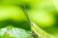 Green grasshopper on grass leaf Royalty Free Stock Images