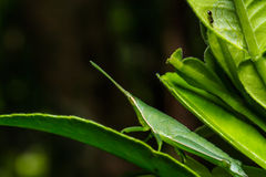 Green grasshopper on grass leaf Stock Photography