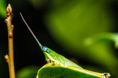 Green grasshopper on grass leaf Royalty Free Stock Photo