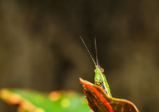 Green grasshopper on grass leaf Royalty Free Stock Photography