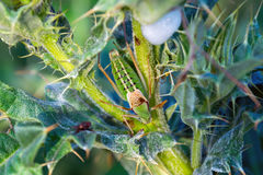 Green grasshopper in the grass. Little green grasshopper in dew is hiding in the grass in summer`s morning royalty free stock images