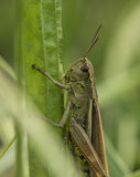Green grasshopper on grass in sunny day Stock Image