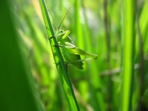 Green grasshopper in green background stock photography