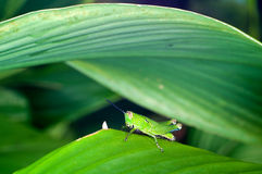 A Green Grasshopper on Green Leaf Stock Images
