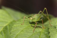 Green Grasshopper on Green Leaf Stock Photography