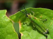 Green grasshopper on a green leaf. With a blur background royalty free stock photo
