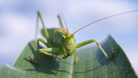 Green Grasshopper on Green Leaf Plant Royalty Free Stock Images