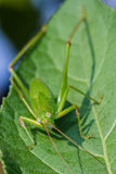 Green grasshopper on the green leaf Stock Images