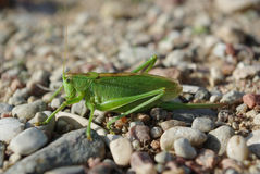 Green eurepean grasshopper on the stones Royalty Free Stock Photography