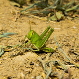 Green grasshopper on the ground. Royalty Free Stock Photo