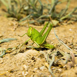 Green grasshopper on the ground. Stock Images