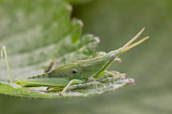 Green grasshopper. Gryllidae relationship taxonomy and close,also known as Grasshopper,about 10cm long,the systemic green,small,well-behaved,very likable royalty free stock photography