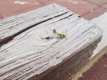 Green grasshopper insect outdoor on brown wood stock photo