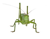 Green Grasshopper isolated on white Stock Images