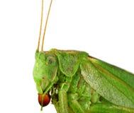 Green grasshopper isolated Stock Photo