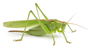 Green grasshopper isolated on white Royalty Free Stock Photos