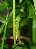 Green Grasshopper - Kuranda, Australia. A Green Grasshopper in Kuranda, Queensland - Australia stock image