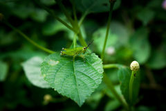 Green grasshopper larvae on green leave. close up photo. selecti. Ve focus Royalty Free Stock Photos