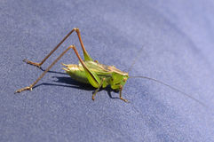 Green grasshopper - lat. chorthippus, closeup on a blue air mattress on a sunny day Royalty Free Stock Photography
