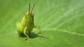 Green grasshopper on a leaf - business card format Stock Photo