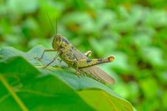 Green grasshopper on leaf. Closeup view royalty free stock photo