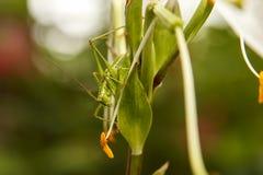 Green grasshopper on a leaf Stock Images