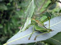 Green grasshopper on leaf in forest, Lithuania Stock Image