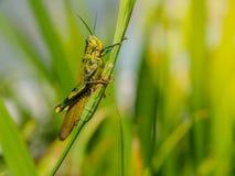 Green grasshopper on a leaf. stock image