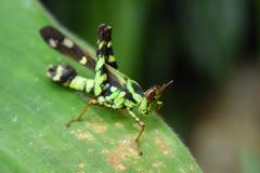 Green grasshopper on leaf Stock Photos